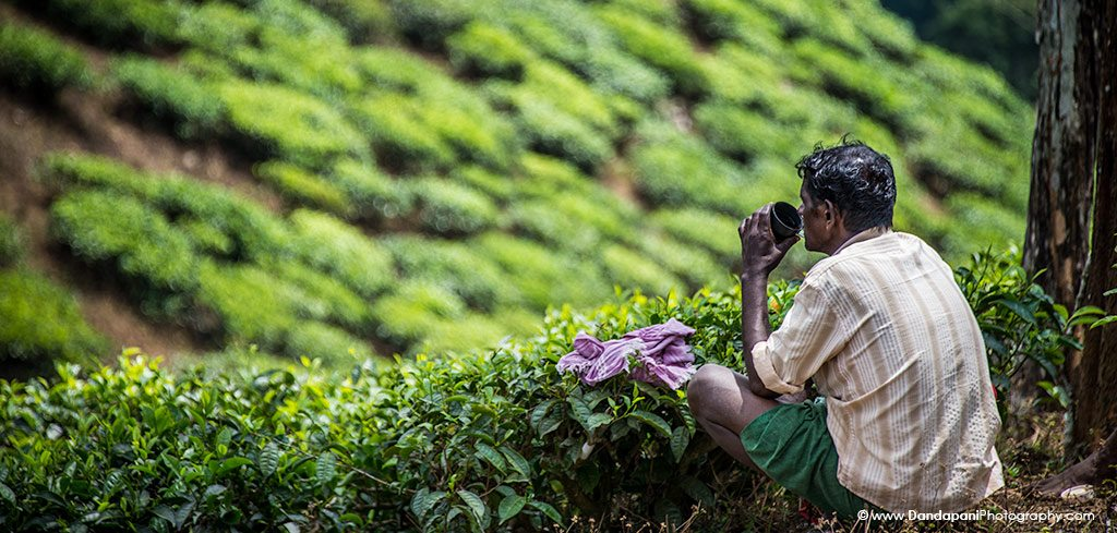 tea plantation worker kerala - Periyar - Spice, Tea & Jungle Retreat